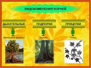 ВИДОИЗМЕНЕНИЯ КОРНЕЙ Мангровые деревья ДЫХАТЕЛЬНЫЕ Баньян ПОДПОРКИ Плющ ПРИЦ