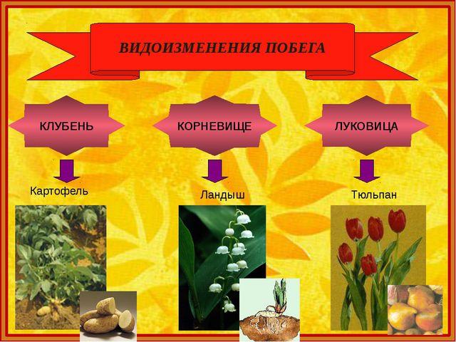 ВИДОИЗМЕНЕНИЯ ПОБЕГА ЛУКОВИЦА Тюльпан КОРНЕВИЩЕ Ландыш КЛУБЕНЬ Картофель