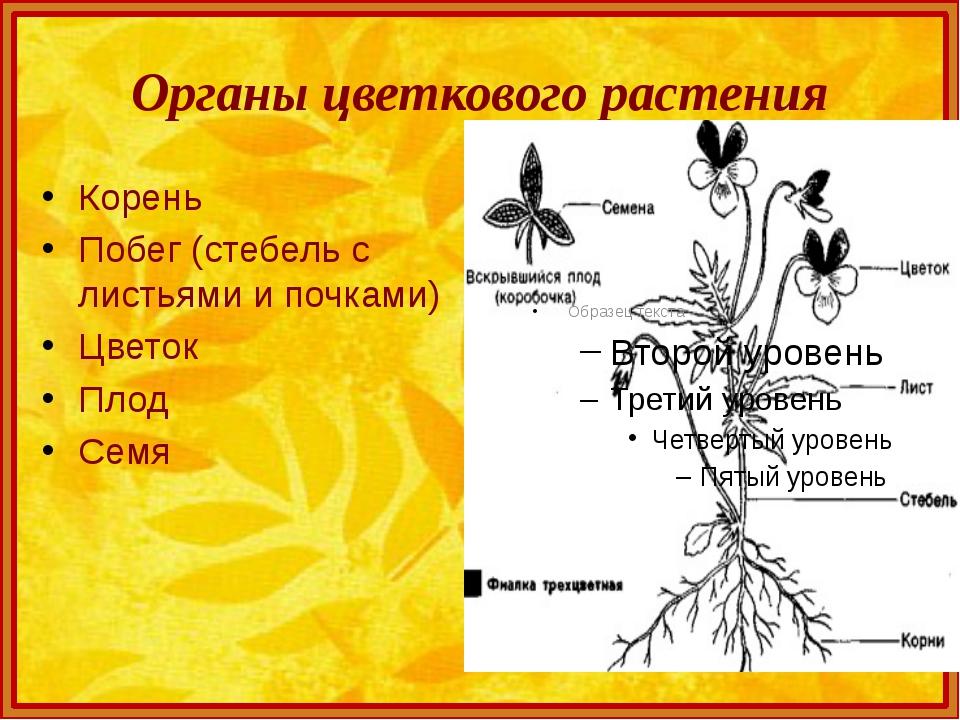 Органы цветкового растения Корень Побег (стебель с листьями и почками) Цветок...