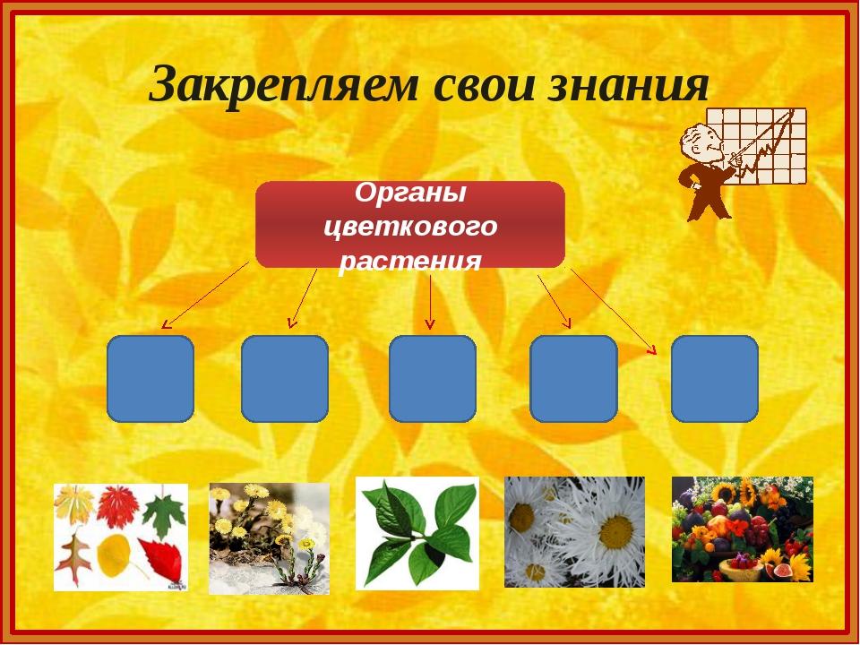 Закрепляем свои знания Органы цветкового растения