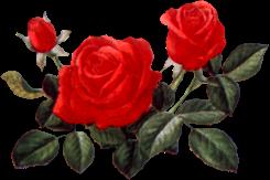 Rose_with_leaf2