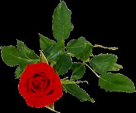 Rose_with_leaf1
