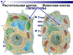 Лизосомы Участие во внутриклеточном переваривании Участие в обработке чужерод