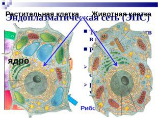 Эндоплазматическая сеть (ЭПС) Транспорт веществ в клетке Разделение клетки на
