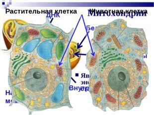 Митохондрии Являются энергетическими станциями клеток Наружная мембрана Внутр
