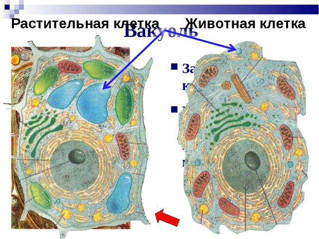 Вакуоль Заполнена клеточным соком Поддерживает давление и поставляет молекулы...