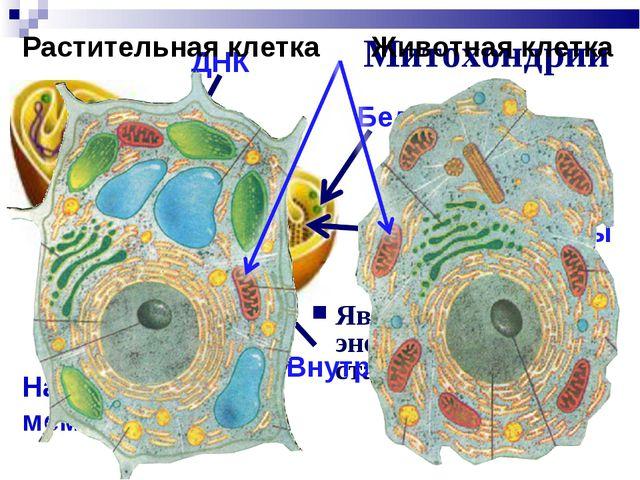 Митохондрии Являются энергетическими станциями клеток Наружная мембрана Внутр...