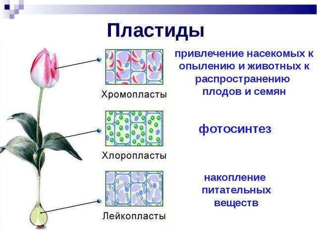 Пластиды привлечение насекомых к опылению и животных к распространению плодов...