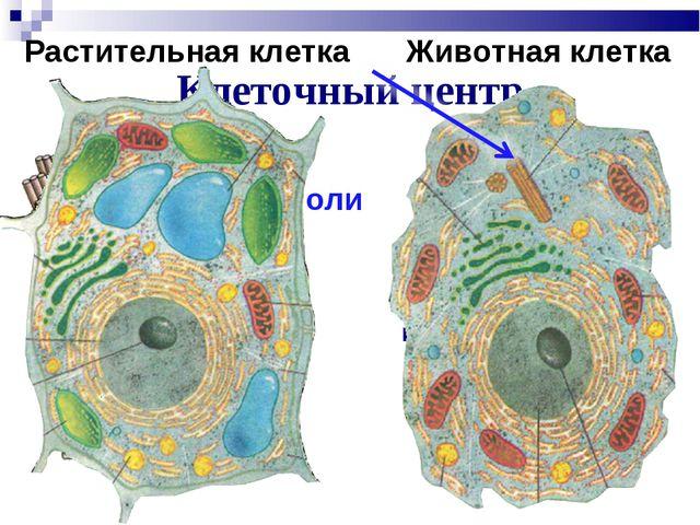 Клеточный центр Участвует в делении клетки Центриоли Растительная клетка Живо...
