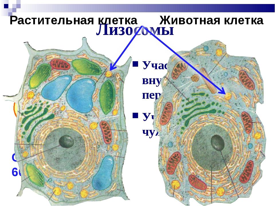 Лизосомы Участие во внутриклеточном переваривании Участие в обработке чужерод...