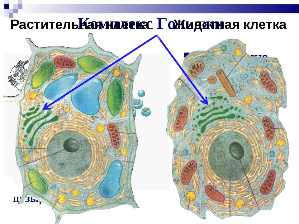 Комплекс Гольджи Накопление, упаковка и транспорт веществ Синтез липидов и уг...