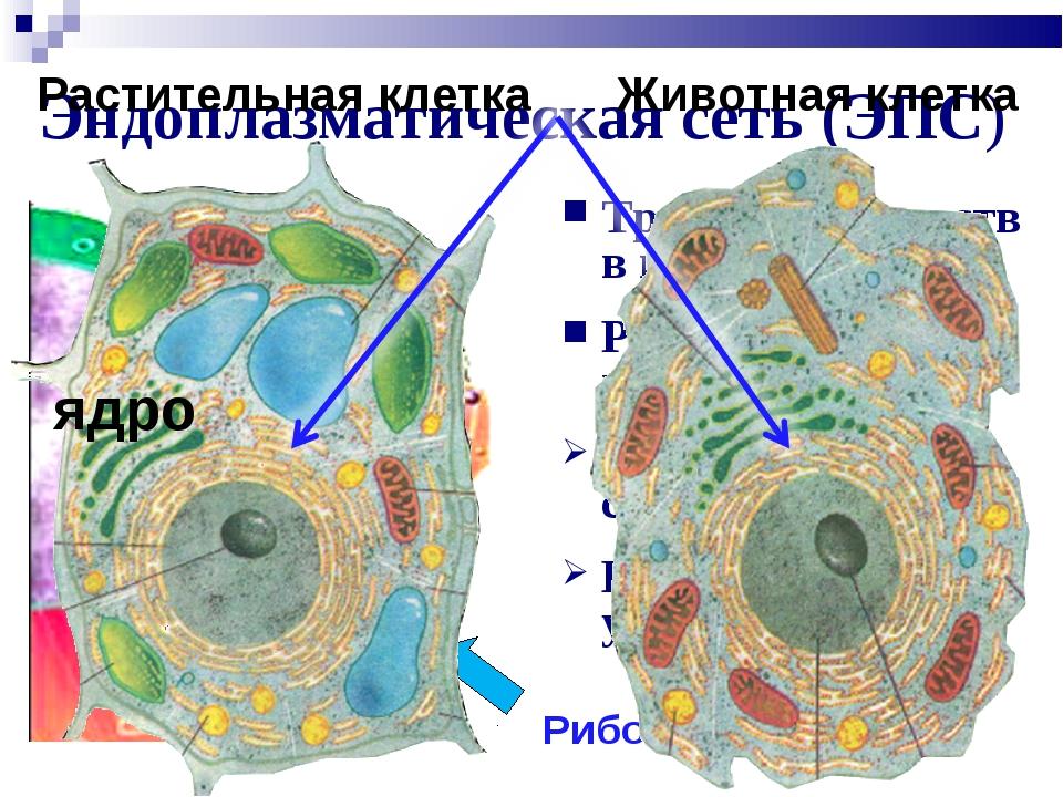 Эндоплазматическая сеть (ЭПС) Транспорт веществ в клетке Разделение клетки на...