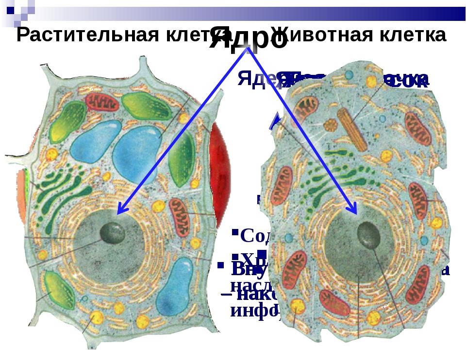 Ядро Отделяет ядро от цитоплазмы Обмен веществ между ядром и цитоплазмой Ядер...