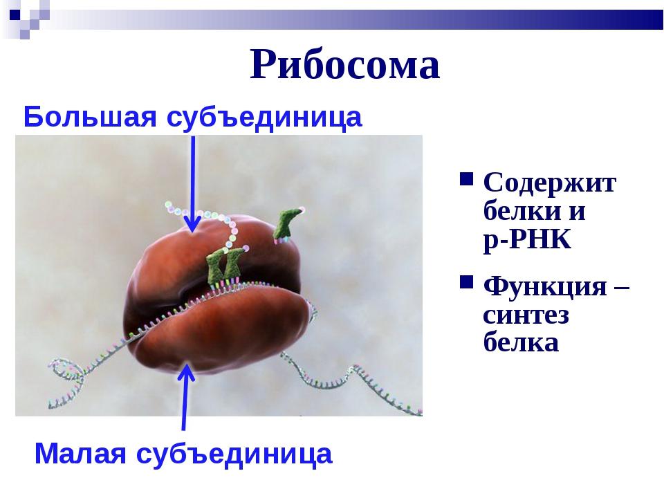 Рибосома Содержит белки и р-РНК Функция – синтез белка Большая субъединица Ма...