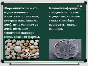 Фораминиферы – это одноклеточные животные организмы, которые напоминают амеб