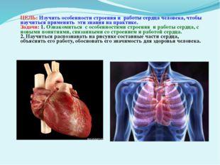 ЦЕЛЬ: Изучить особенности строения и работы сердца человека, чтобы научиться
