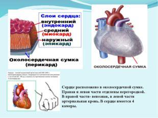Сердце расположено в околосердечной сумке. Правая и левая части отделены пере