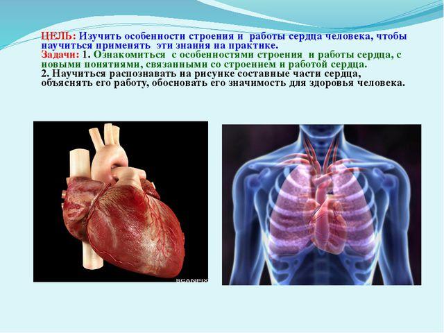ЦЕЛЬ: Изучить особенности строения и работы сердца человека, чтобы научиться...