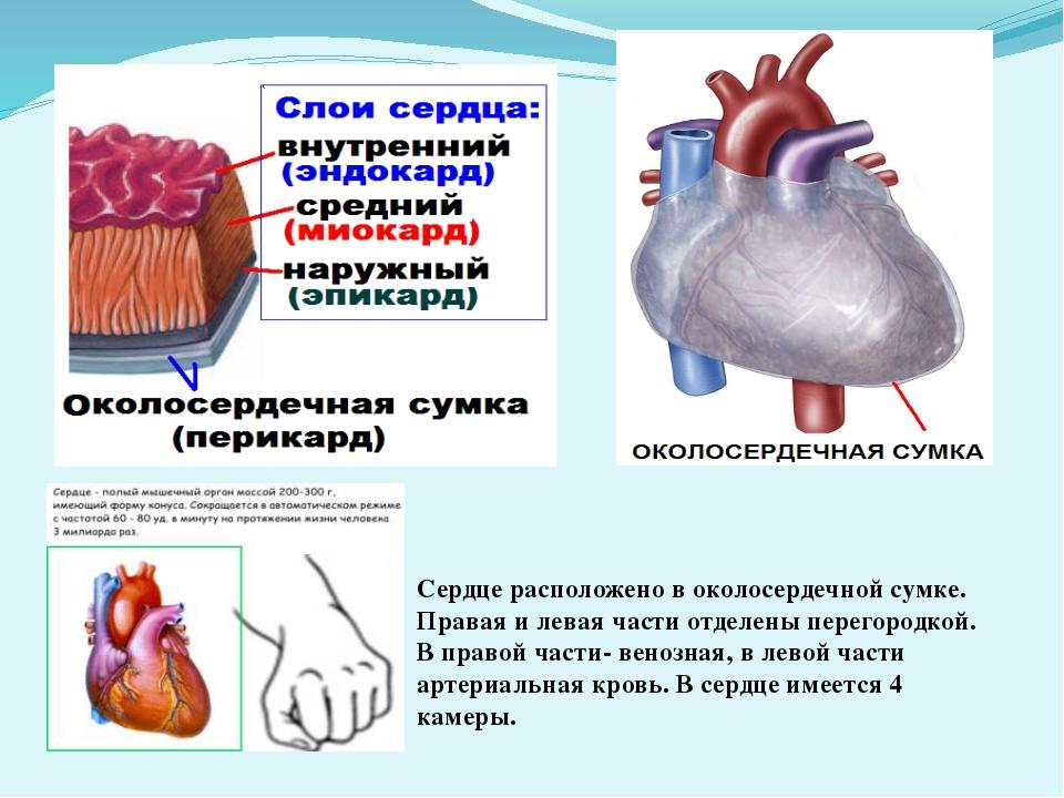 Сердце расположено в околосердечной сумке. Правая и левая части отделены пере...