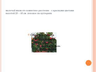 малочай миля это комнотное расстение с красными цветами высотой 25 – 45 см по