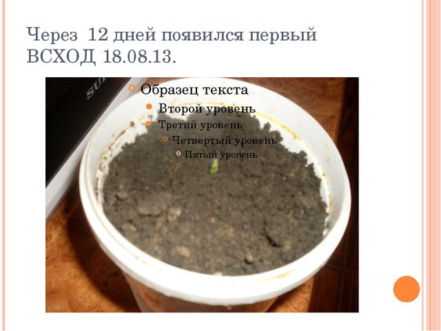 Через 12 дней появился первый ВСХОД 18.08.13.