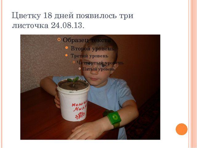 Цветку 18 дней появилось три листочка 24.08.13.
