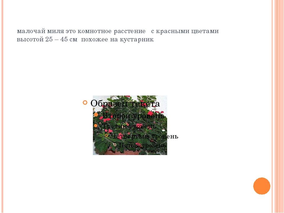 малочай миля это комнотное расстение с красными цветами высотой 25 – 45 см по...