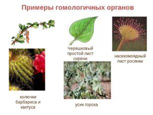 Примеры гомологичных органов насекомоядный лист росянки колючки барбариса и к