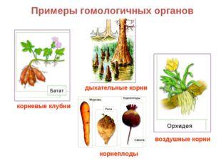 Примеры гомологичных органов корневые клубни дыхательные корни воздушные корн