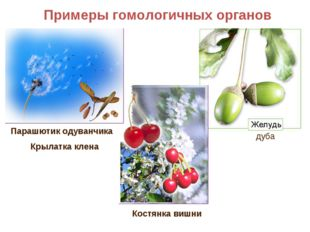 Примеры гомологичных органов Парашютик одуванчика Крылатка клена Костянка виш