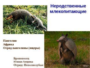 Неродственные млекопитающие Панголин Африка Отряд панголины (ящеры) Броненосе