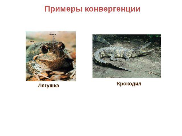 Примеры конвергенции Крокодил Лягушка