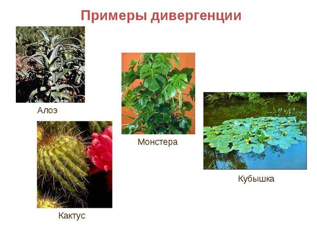 Примеры дивергенции Алоэ Кактус Монстера Кубышка