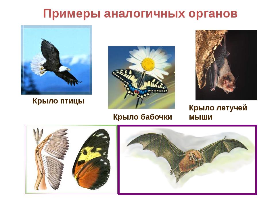 Примеры аналогичных органов Крыло летучей мыши Крыло бабочки Крыло птицы