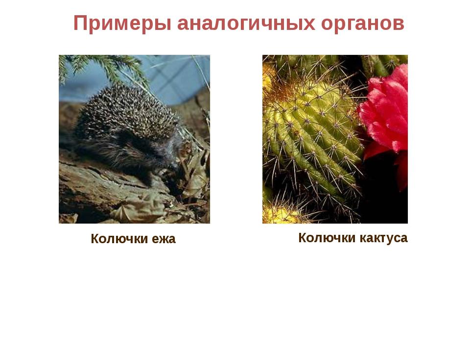 Примеры аналогичных органов Колючки кактуса Колючки ежа