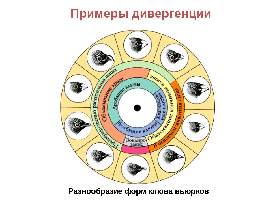Разнообразие форм клюва вьюрков Примеры дивергенции