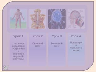 Строение нерва Пучки нервных волокон Кровеносные сосуды Аксон Нервный узел С