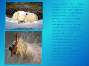 Белые медведи - единственные крупные хищники на Земле, которые до сих пор жив
