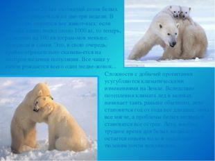 За последние 20 лет охотничий сезон белых медведей сократился на две-три неде