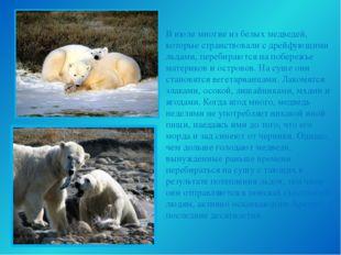В июле многие из белых медведей, которые странствовали с дрейфующими льдами,