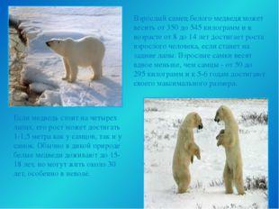 Взрослый самец белого медведя может весить от 350 до 545 килограмм и в возра