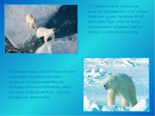С поразительной ловкостью медведь передвигается по самым тяжелым льдам, прохо