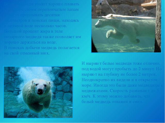 Белые медведи умеют хорошо плавать благодаря своим перепончатым лапам и могут...