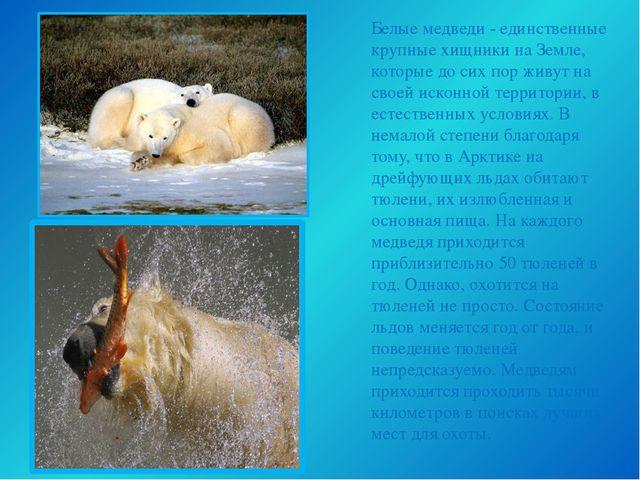Белые медведи - единственные крупные хищники на Земле, которые до сих пор жив...