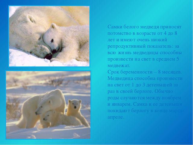 Самки белого медведя приносят потомство в возрасте от 4 до 8 лет и имеют очен...
