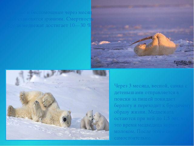 Через 3 месяца, весной, самка с детенышами отправляется в поиски за пищей пок...