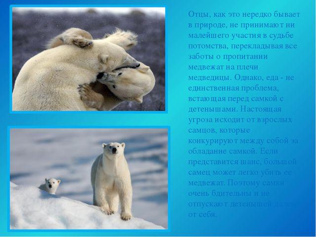 Отцы, как это нередко бывает в природе, не принимают ни малейшего участия в с...