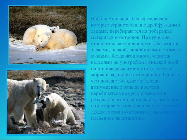 В июле многие из белых медведей, которые странствовали с дрейфующими льдами,...