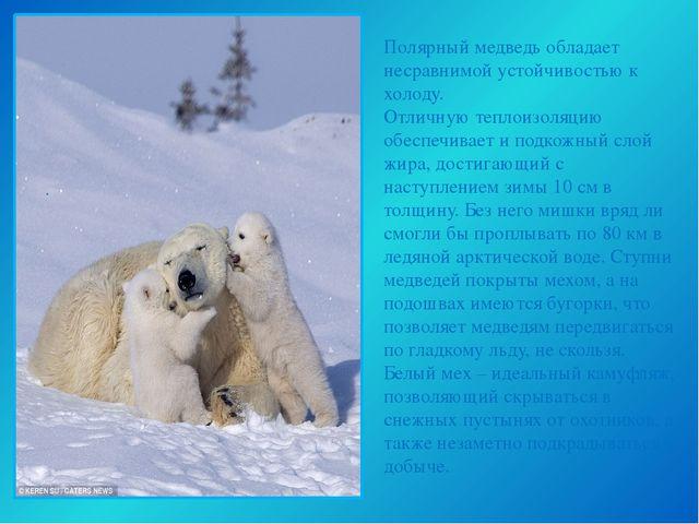 Полярный медведь обладает несравнимой устойчивостью к холоду. Отличную теплои...