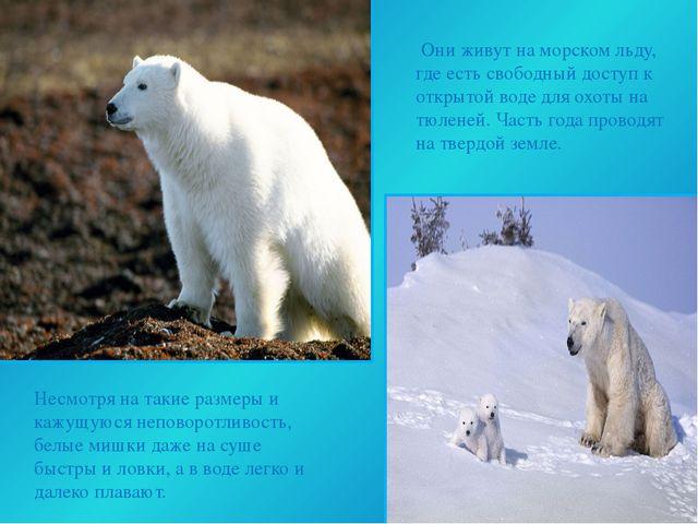 Они живут на морском льду, где есть свободный доступ к открытой воде для охо...